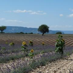 Plateau de Valensole, 27 juillet 2014